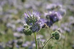 A Phacelia  blossoms  on the field  in the back light  with bee. Phacelia  blossoms  on a  field             scorpionweed,  heliotrope , Boraginaceae Royalty Free Stock Photos