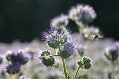 Phacelia  blossoms  on the field  in the back light  with flying beet. Phacelia  blossoms  on a  field           scorpionweed,  heliotrope , Boraginaceae Stock Photos