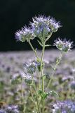 A Phacelia  blossoms  on the field  in the back light. Phacelia  blossoms  on a  field     scorpionweed,  heliotrope , Boraginaceae, Kerneudikotyledonen Royalty Free Stock Photography