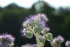 Phacelia  blossoms  on the field  in the back light Royalty Free Stock Photo