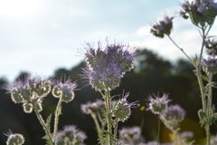 Phacelia  blossoms  on the field  in the back light Royalty Free Stock Image
