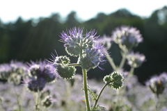 Phacelia  blossoms  on the field  in the back light Royalty Free Stock Photography