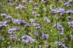Phacelia blossoms  on the field. Phacelia blossoms     & x28;  scorpionweed,  heliotrope , Boraginaceae, Kerneudikotyledonen   & x29;       on the field Royalty Free Stock Images