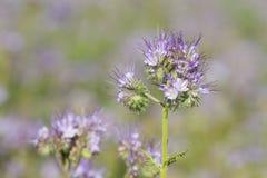 Phacelia-Blume Stockbild