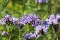 Phacelia Borage rodzina & x28; Boraginaceae& x29; Fotografia Royalty Free