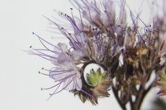 Phacelia Borage rodzina & x28; Boraginaceae& x29; Obraz Royalty Free