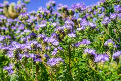 Phacelia Phacelia crenulata wildflowers blooming in Anza Borrego Desert State Park during a spring super bloom, San Diego county. California stock photos