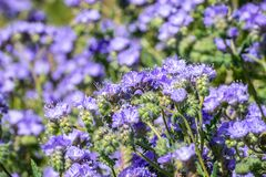 Phacelia Phacelia crenulata wildflowers blooming in Anza Borrego Desert State Park during a spring super bloom, San Diego county. California royalty free stock photo