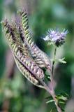Phacelia de dentelle ou tansy pourpre (tanacetifolia de phacelia) Images libres de droits
