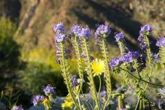 Phacelia distans Verre Phacelia die in het Park van de de Woestijnstaat van Anza Borrego, de provincie van San Diego, Californië  royalty-vrije stock afbeeldingen