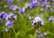 Phacelia e abelha Imagem de Stock