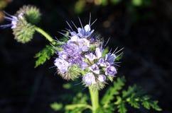 Phacelia es un género de las plantas del Boraginaceae de la familia Imagen de archivo