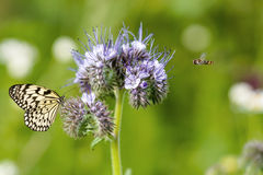 Phacelia et insectes Photos stock