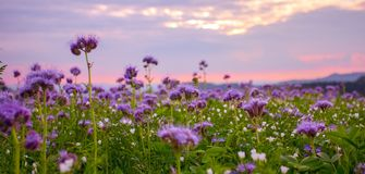 Phacelia-Feld, das bei purpurrotem Sonnenuntergang blüht Lizenzfreie Stockfotos