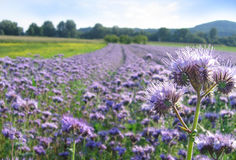 Phacelia field Royalty Free Stock Images