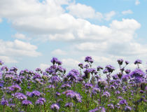 Phacelia field. On a background of blue sky with white clouds Stock Image