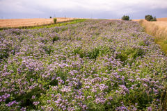 Phacelia field Stock Photo