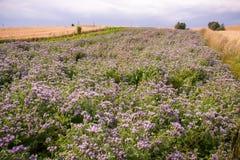 Phacelia field. Beautiful phacelia field in summertime Stock Photo