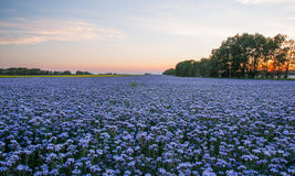 Phacelia field at sunset. Stock Photos