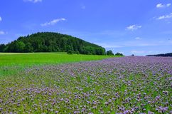 Phacelia field Stock Photography