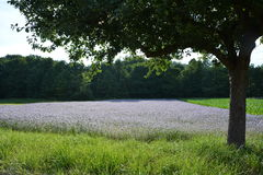 Phacelia field   with tree in the foreground and wood in the. Phacelia field     scorpionweed,  heliotrope , Boraginaceae, Kerneudikotyledonen     with tree in Royalty Free Stock Images