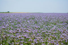 Phacelia fields Royalty Free Stock Photo