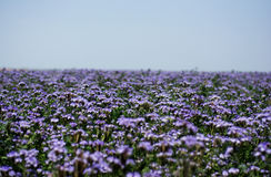 Phacelia fields Royalty Free Stock Photography