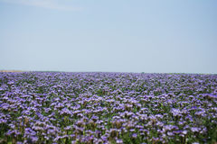 Phacelia fields Stock Image
