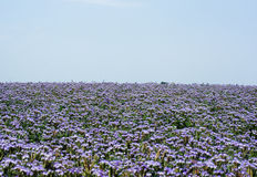 Phacelia fields Royalty Free Stock Image
