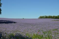 Phacelia fields. Fields of phacelia in Powidz, Poland Royalty Free Stock Image