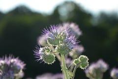 Phacelia florece en el campo en la luz trasera Foto de archivo libre de regalías