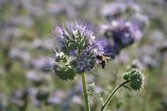 Phacelia florece en el campo en la luz trasera con la abeja Foto de archivo