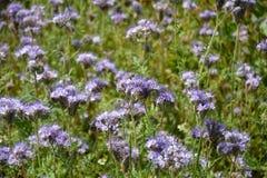 Phacelia florece scorpionweed, heliótropo, Boraginaceae en el campo Imagenes de archivo