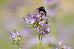 Phacelia flower and bee Royalty Free Stock Images