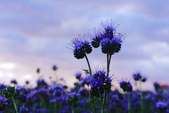 Phacelia  flower Stock Photography