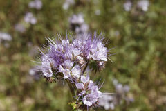Phacelia. Flower a summer day on the field Stock Photo