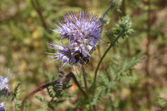 Phacelia. Flower a summer day on the field Stock Photography
