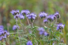 Phacelia flowers Royalty Free Stock Images