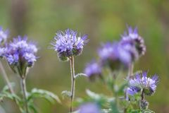 Phacelia flowers Royalty Free Stock Photography