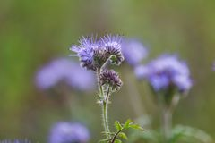 Phacelia flowers Royalty Free Stock Image
