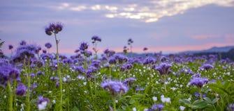 Phacelia flowers field and purple sunset sky background. Phacelia flowers blooming field and purple sunset sky background Royalty Free Stock Photography