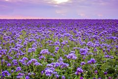 Phacelia flowers field and purple sunset sky background. Phacelia flowers blooming field and purple sunset sky background stock image