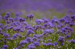 Phacelia flowers field violet blooming nature  fields. Phacelia flowers field violet blooming nature agriculture fields Stock Photos
