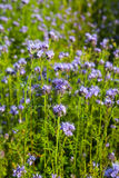 Phacelia Royalty Free Stock Images
