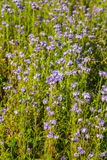 Phacelia Stock Photos