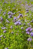 Phacelia Royalty Free Stock Photography