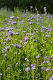 Phacelia. Flowers: nectar rich flowers in a summer meadow Royalty Free Stock Images