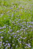 Phacelia Stock Photography