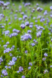 Phacelia Royalty Free Stock Image