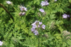 Phacelia forage crop for bees Royalty Free Stock Photo